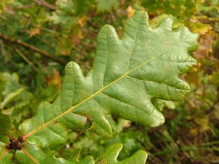 English Pedunculate Oak